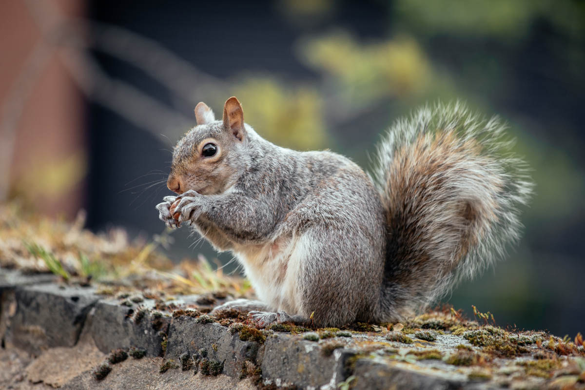 Selective focus shot of a squirrel in the yard