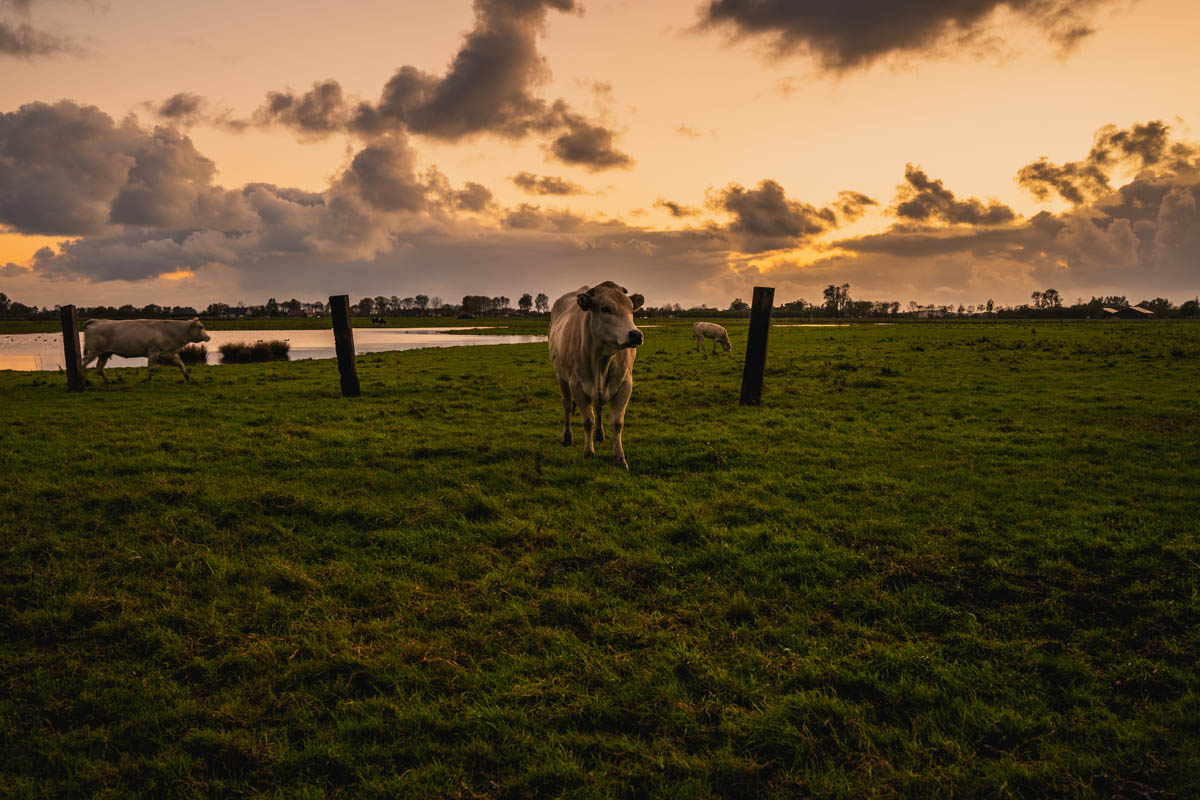 beautiful-shot-cows-rural-field-zeeland-nethe