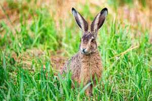 Close up lovely attentive European hare or Lepus