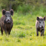 two wild boars approaching on glade in spring nature